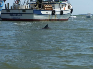 Dolphin playing in Shem Creek